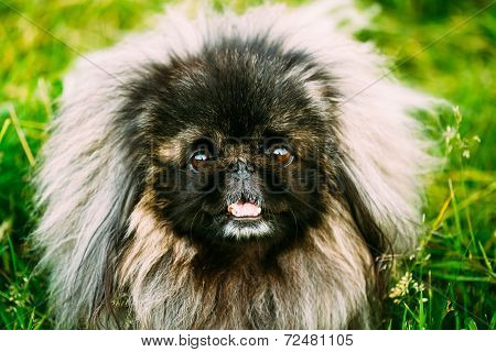 Pekingese Pekinese Peke Dog Resting On Grass
