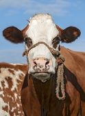 Close up of brown and white cow staring under blue sky poster