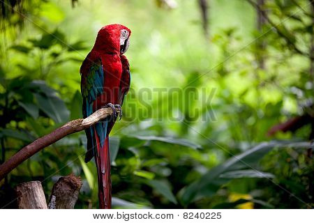Colorful scarlet macaw perched on a branch