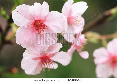 Japanese Flowering Cherry blossoms