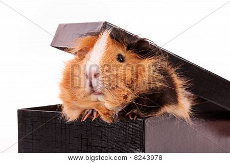 Funny Brown Cavy On White Background