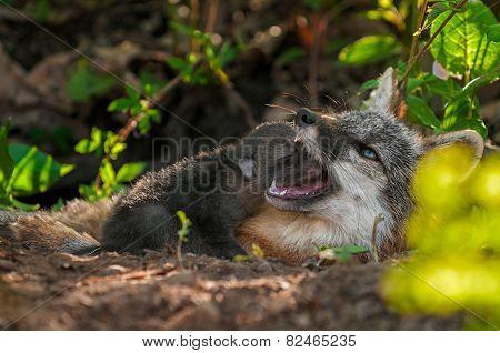Grey Fox Kit (urocyon Cinereoargenteus) Head In Vixen's Mouth