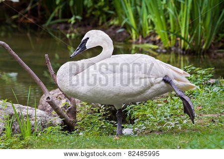 Standing Trumpeter Swan