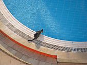 Cat on the edge of swimming pool poster