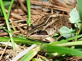 A Wood Frog (Rana sylvatica) in the northwoods of Wisconsin. poster