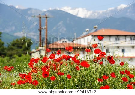 Red poppy flowers at the foot of Olympus Mountain, Leptokaria, Greece