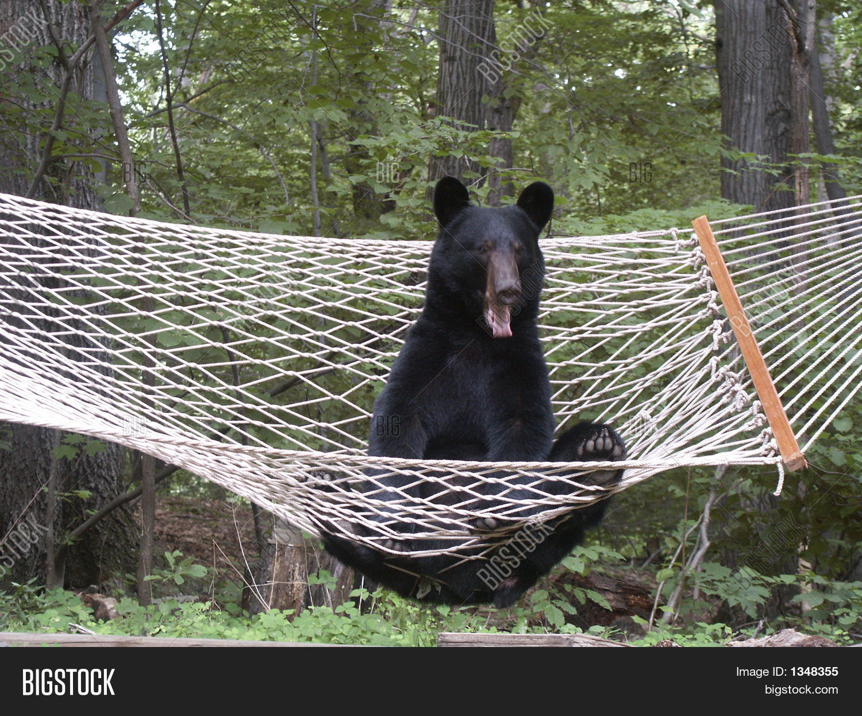 sleepy black bear in hammock sleepy black bear hammock image  u0026 photo   bigstock  rh   bigstockphoto