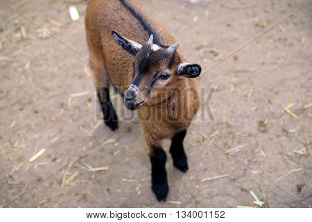 Juvenile brown and white goat (Capra aegagrus hircus)