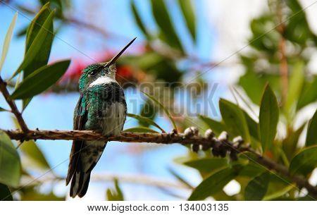 Colibrí garganta blanca, posado en una rama
