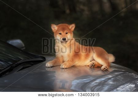Beautiful Young Red Shiba Inu Puppy Dog on car in Outdoor