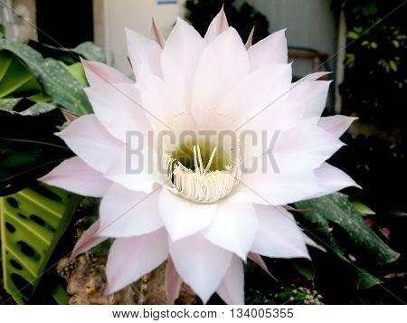 Pink Hylocereus undatus Cactus Flower isolated in Or Yehuda Israel