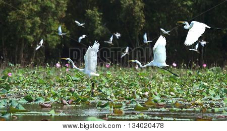 White stork flying birds with long wings over fields lotus crowded. This long tradition  birds after day foraging nest fly altogether, wild natural landscape appears only river in countryside Vietnam