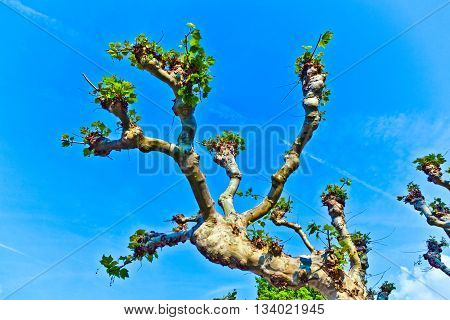 plane trees under blue sky give a harmonic spring background