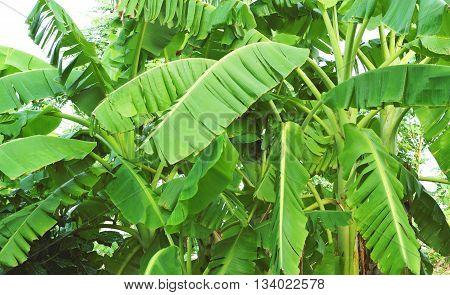 Banana Leaves. Banana Tree.
