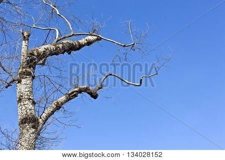 Birch Tree With Blue Sky