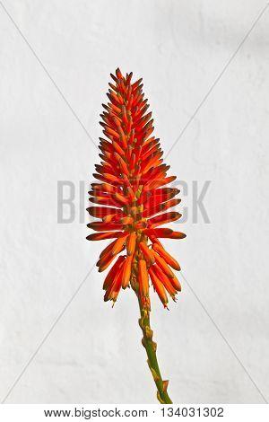 Beautiful Aloe Vera Flower