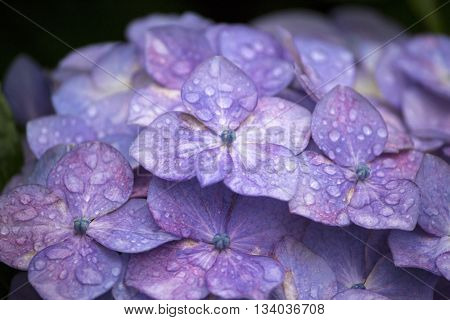 Purple hydrangea flower in the rainy season