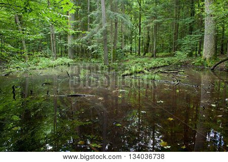 Summertime water in Bialowieza forest mixed stand, Bialowieza Forest, Poland, Europe