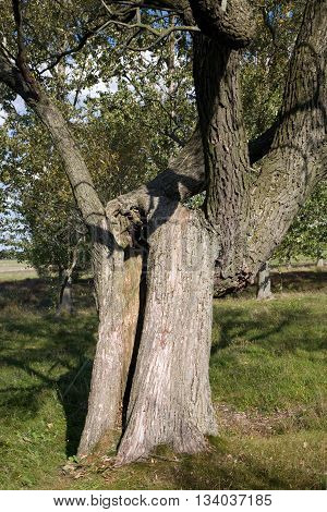Old Willow tree in foreground with hollow trunk, Podlasie, Poland, Europe