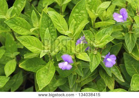 Otacanthus Caeruleus A. Ronse , Brazilina Snapdragon, Blue Hawaii Flower In The Garden
