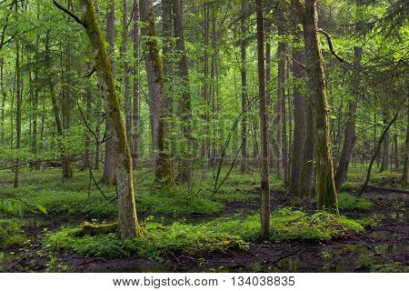 Springtime sunrise in wet deciduous stand of Bialowieza Forest with standing water, Bialowieza Forest, Poland, Europe