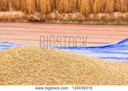 Harvested the paddy fields in the countryside.