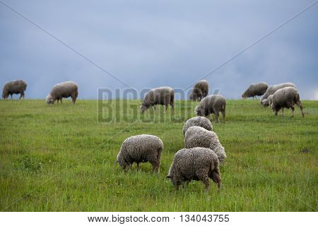 Sheep on a hill with dark clouds behind.