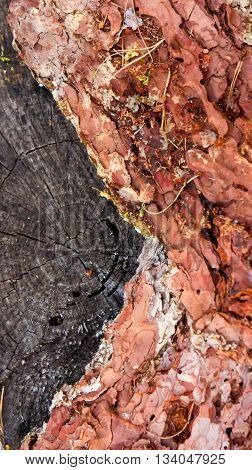 the stub of the cut tree in the wood, old, on a stub lies bark of a pine tree, visually dividing into a stub on two parts,