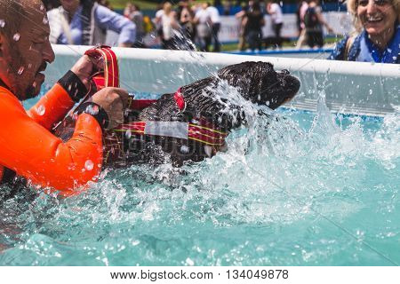 MILAN ITALY - JUNE 12: Dog enjoys the swimming pool at Quattrozampeinfiera event and activities dedicated to dogs cats and their owners on JUNE 12 2016 in Milan.
