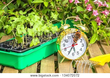 Container with the seedlings of morning glory flowers alarm clock tortoise butterflymini-ripper on a wooden table in spring garden close up poster