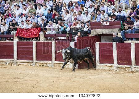 Ubeda Spain - October 3 2010: Capture of the figure of a brave bull in a bullfight going out of bullpens Spain