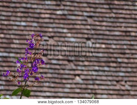 Exotic purple flower with old bardot wooden roof in background