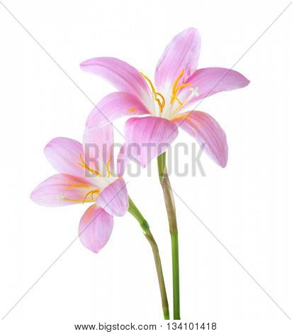Two pink lilies isolated on a white background. Rosy Rain lily