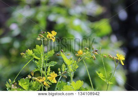 Greater celandine Chelidonium majus, tetterwort, nipplewort or swallowwortare growing in the forest