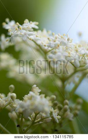 Fresh Elderflower In Garden