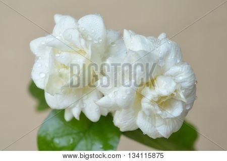 Jasmine flower, Jasminum sambac, Family Oleaceae, Central of Thailand