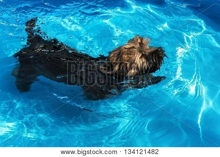 Cute havanese puppy dog is swimming in a blue outdoor pool on a hot summer day