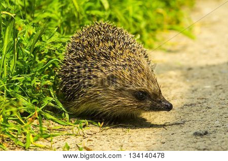 Hedgehog. Young hedgehog in natural.  Curious hedgehog walks in the woods on a sunny summer day. hedgehog on green lawn in backyard.good hedgehog on the grass at nature