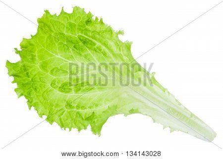 Fresh Green Leaf Lettuce Isolated