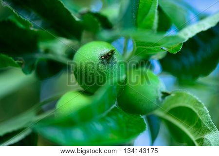 Immature Young Green Apples