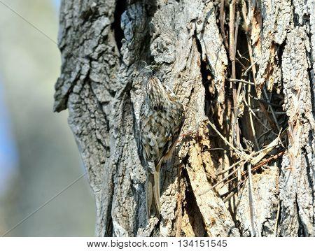 The Eurasian treecreeper or common treecreeper (Certhia familiaris)