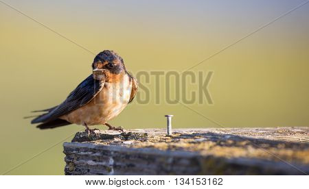 Barn Swallow (Hirundo rustica) perched on wooden bar.
