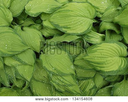 bright green hosta leaves with thirst-quenching droplets of water