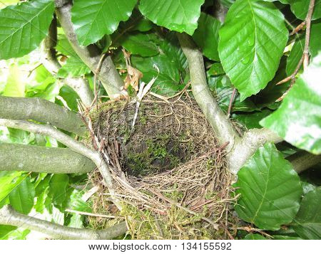 Empty bird's nest, situated inside a hedge