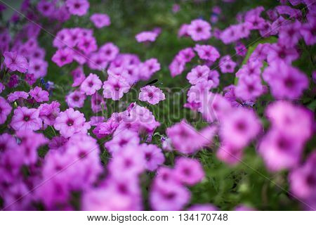 Azure Damselfly in focus resting on pink hortensia flowers field