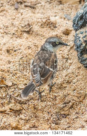 Galapagos Mockingbird In Santa Cruz Island.