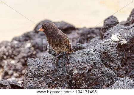 Galapagos Medium-ground Finch (geospiza Fortis)  In Santa Cruz, Galapagos Islands