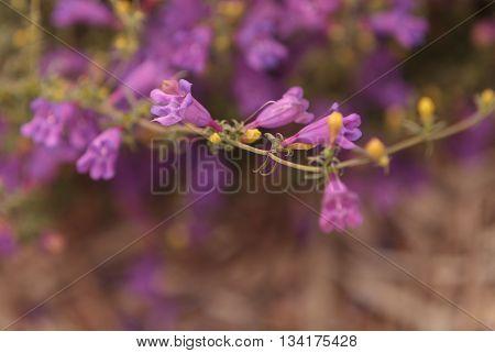 Purple foothill penstemon flower Penstemon heterophyllus in a Southern California garden in spring.