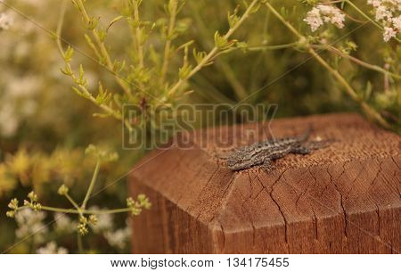 Side blotched lizard Uta stansburiana suns itself on a post in a Southern California garden in spring