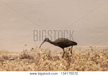 White faced ibis, Plegadis chihi, forages in the marsh at the San Joaquin wildlife reserve in Irvine, California, United States.